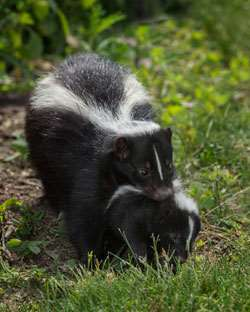 Skunk with Kit