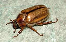 eur-chafer-adult2-big